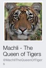 Machli_tiger_